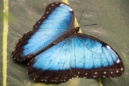 blue morpho with opened wings